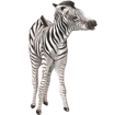 Cebra bebé - pelaje 9