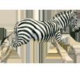 Cebra adulto - pelaje 9