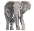 Elefante adulto - pelaje 52