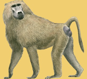 Acoger a un animal de la sabana de especie babuino