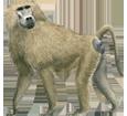 Babuino  adulto - pelaje 69