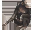 Chimpance adulto - pelaje 69