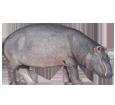 Hipopótamo adulto - pelaje 52