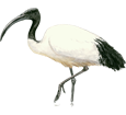Ibis sagrado adulto - pelaje 65