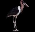 Marabú africano adulto - pelaje 5