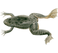 Xenopus (rana carnívora) adulto - pelaje 71