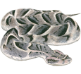 Víbora bufadora adulto - pelaje 52