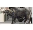 Búfalo adulto - pelaje 37