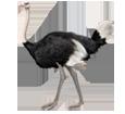 Avestruz adulto - pelaje 5