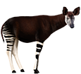 Okapi adulto - pelaje 5