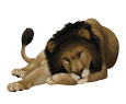 León adulto - pelaje 16019