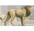 León adulto - pelaje 2