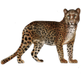 Leopardo - pelaje 46