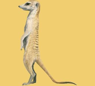 Acoger a un animal de la sabana de especie suricata