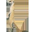 Suricata adulto - pelaje 2