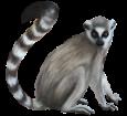 Lémur - pelaje 52