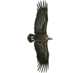 Buitre adulto - pelaje 51