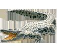 Cocodrilo adulto - pelaje 66